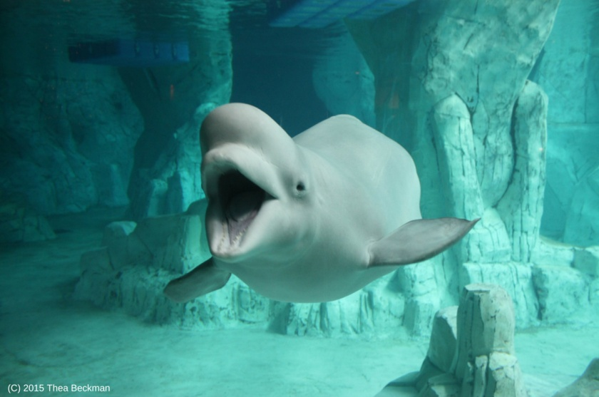 Beluga whale song