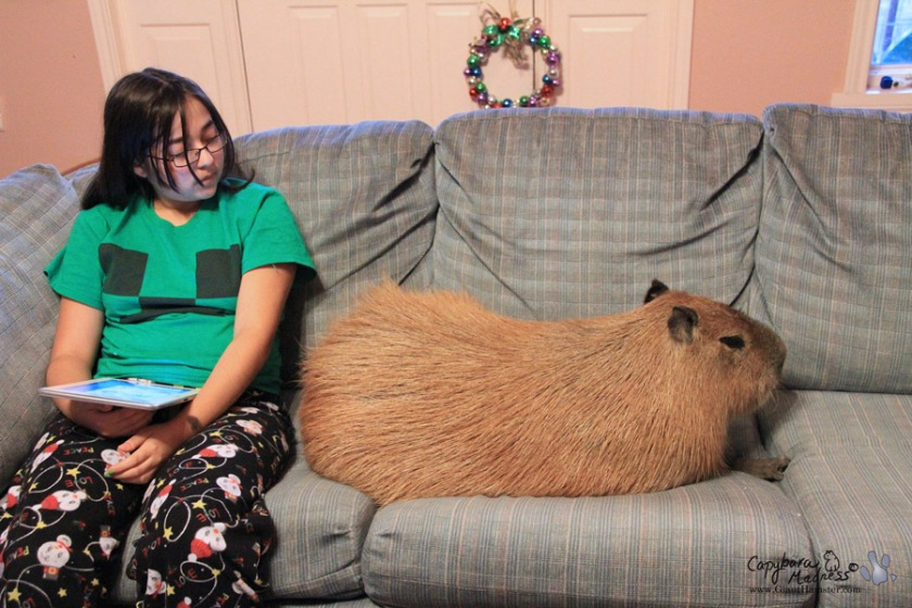 Pet capybara on couch