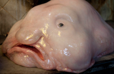 Ugliest animal blob fish