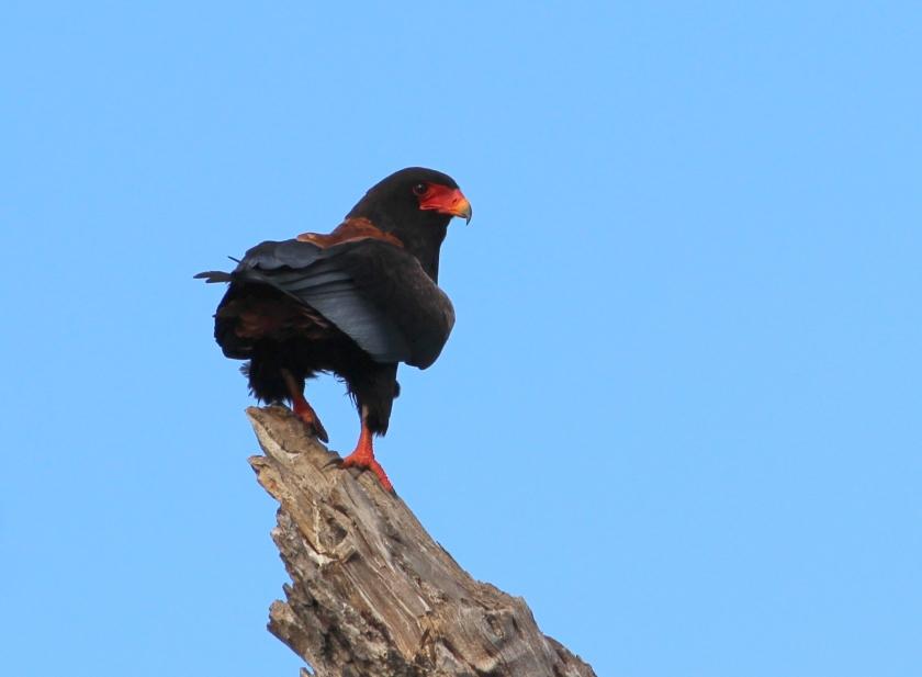 Bataleur Eagle