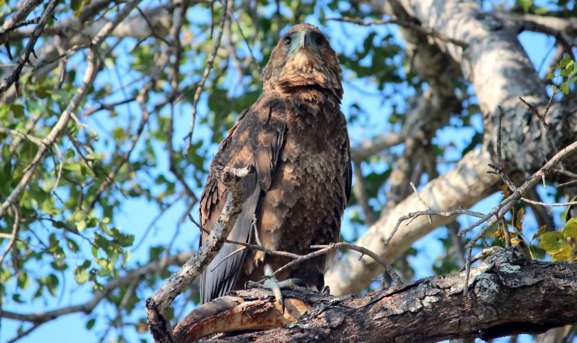 Juvenile Bataleur Eagle