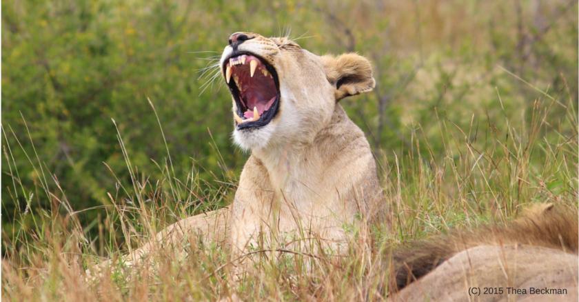 Lion yawning 2