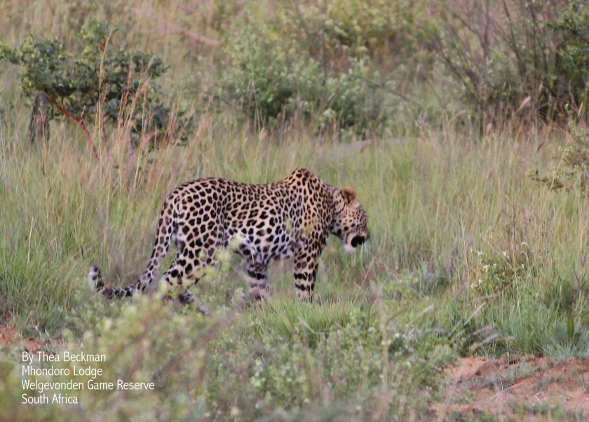 Leopard by Thea Beckman 1