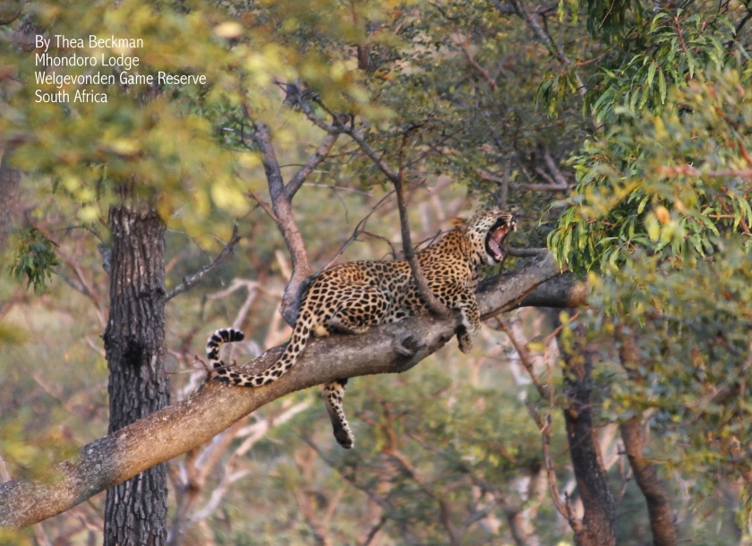 Leopard by Thea Beckman 2