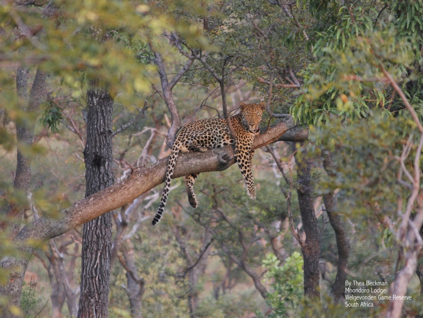 Leopard by Thea Beckman 3