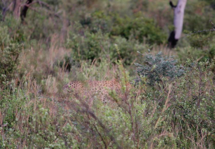 Leopard in grass South Africa safari