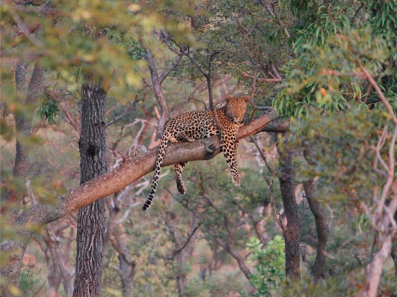 Leopard in tree South Africa safari