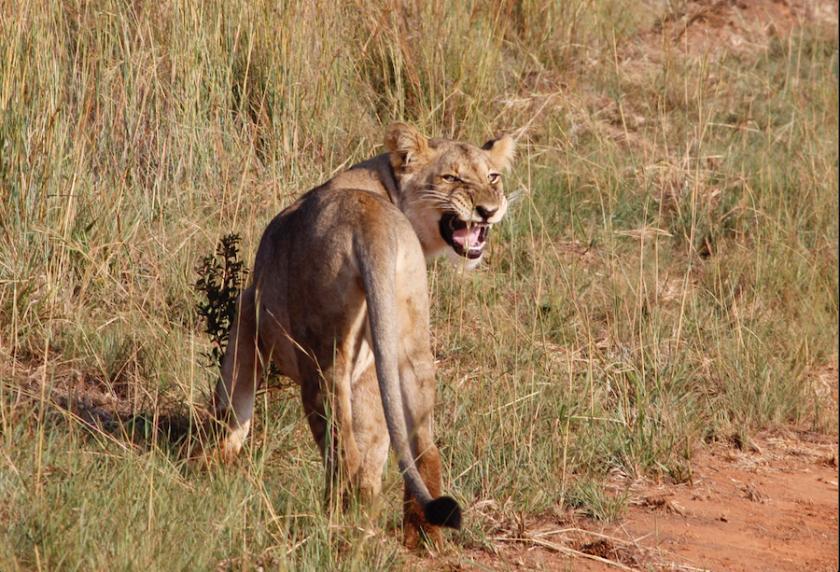 Lions South Africa safari