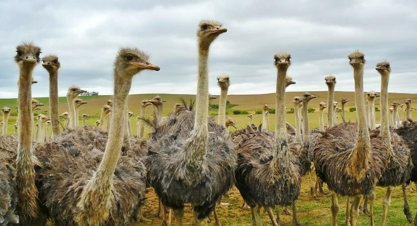 Ostrich birds South Africa