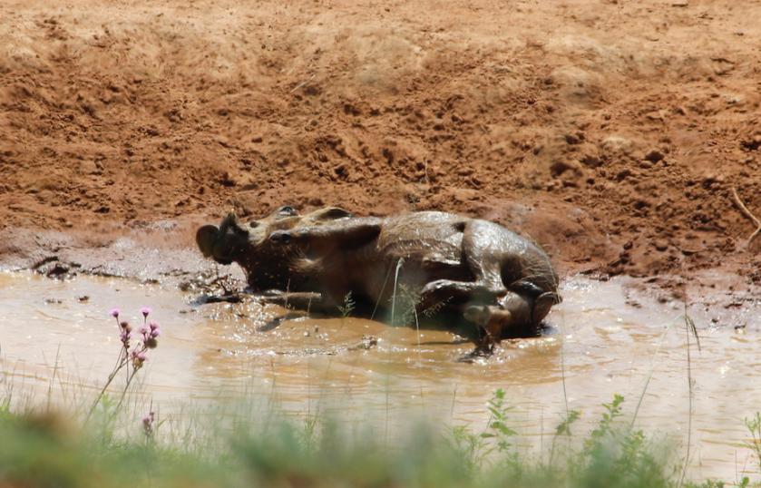 Warthog rolling in mud South Africa safari