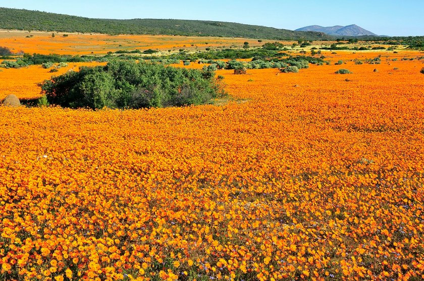 Namaqua daisies Cape wild flowers