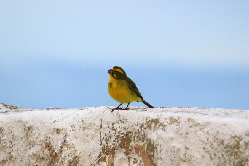 Brimstone canary, South Africa birds and birding