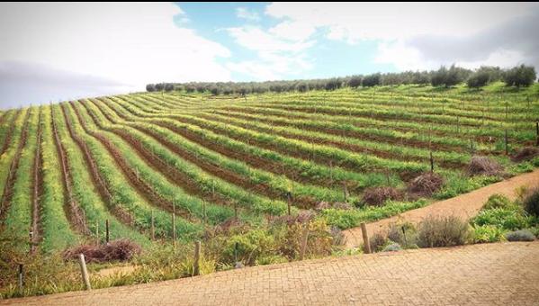 Tokara wine and olive farm, Stellenbosch