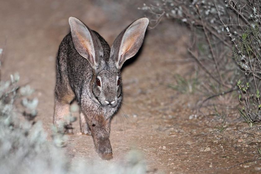 Riverine-rabbit-Endangered-Wildlife-Trust-min